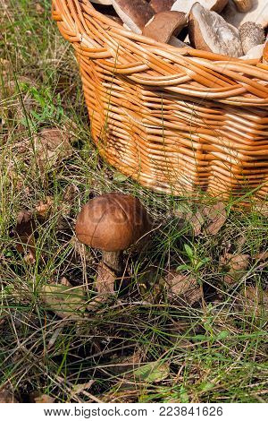 Forest Mushrooms Brown Cap Boletus Growing In A Green Moss..