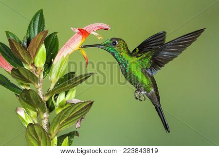 Green-crowned Brilliant Hummingbird hovering at a flower as it feeds