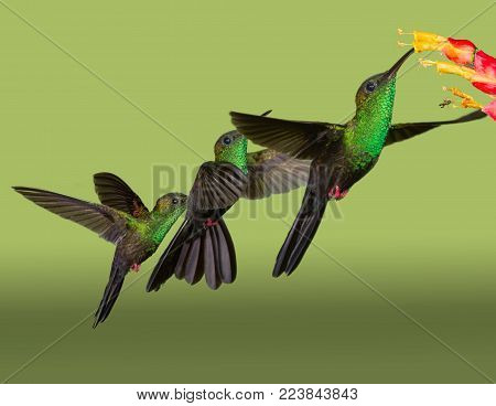 Bronze-tailed Plumeleteer hummingbird  showing flight pattern in composite picture