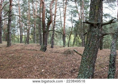 Remains of trenches of World War One in pine spring forest of Volyn. Traces of Trench warfare nowadays. Battleground of Brusilov Offensive or June Advance