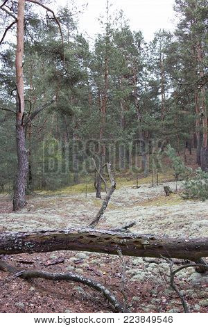 Picturesque strange place covered with lichen in pine forest of Volyn. Remains of trenches of World War One nowadays. Battleground of Brusilov Offensive or June Advance on Eastern Front