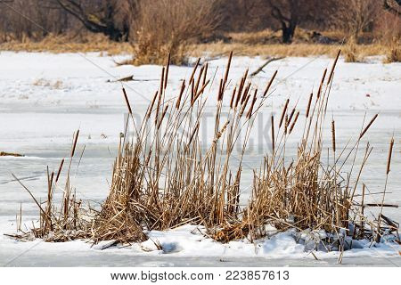 Dried stems of reeds frozen in the ice on the lake