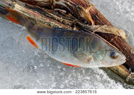 Caught fresh perch lies on the ice of the lake. Ice fishing in winter