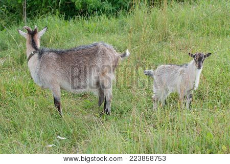 Domestic doe goat and its kid outdoor in summer