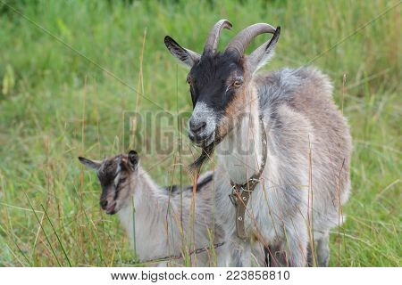 Female domestic goat and its kid outdoor in summer