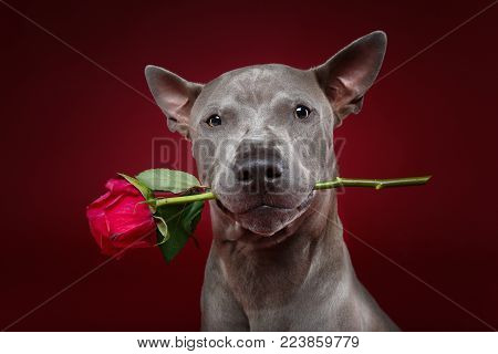 beautiful blue thai ridgeback male dog holding pink rose in mouth. ctudio shot over red background. copyspace.