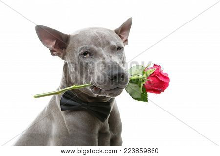 beautiful blue thai ridgeback male dog in bow tie holding pink rose in mouth. studio shot isolated on white background. copyspace.
