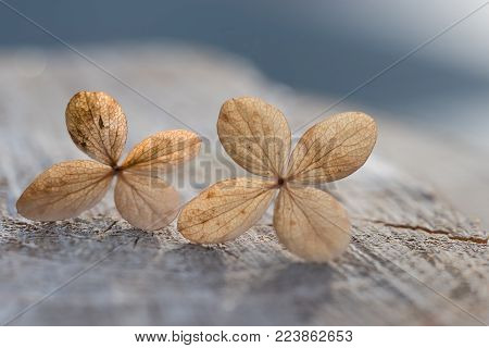 closeup of faded hydrangea blossoms on wooden slice. narrow depth of field. sympathy background