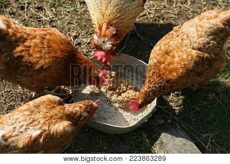 brown chicken eating food from a trough