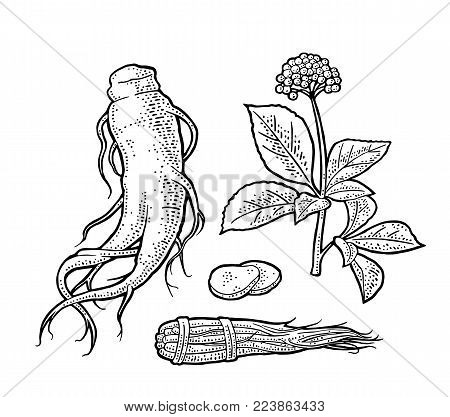 Root, slice, bunch tied by rope, leaves panax ginseng. Vector engraving vintage black illustration plants for traditional medicine label. Isolated on white background. Hand drawn design element