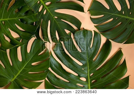 Monstera Leaves Being Aged And Dehydrated Over Time Changing - Aging Concept.