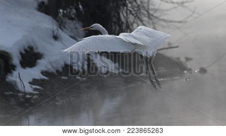 Great white heron in flight. Heron with snow in the nature habitat.