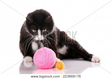 The cat is isolated on white. Kitten is played with a ball of thread. Young player in the ball. nba player. cat poster poster
