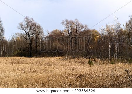 autumn landscape in the northern forest with a vast clearing of yellow dry grass in the foreground