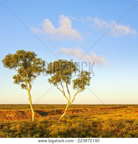 Outback Australia Ghost Gums - ghost gums, a type of Eucalyptus, on an Australian Outback hillside, beside a deserted country road.