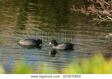 Pair of American Coots taking turns dipping beak into estuary water searching for food.