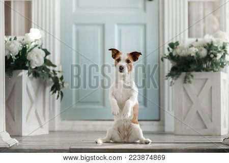 Dog Jack Russell Terrier On The Porch. Pet At The Door To The House