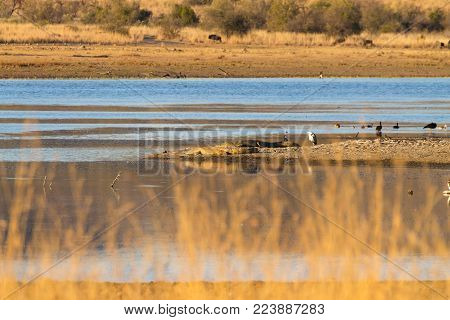 Herd of hippos crocodiles along river from Pilanesberg National Park, South Africa. Safari into wildlife. Animals in nature