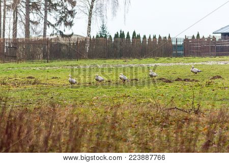 Ducks On The Meadow With Trees In The Background. Agriculture And Animal Theme.