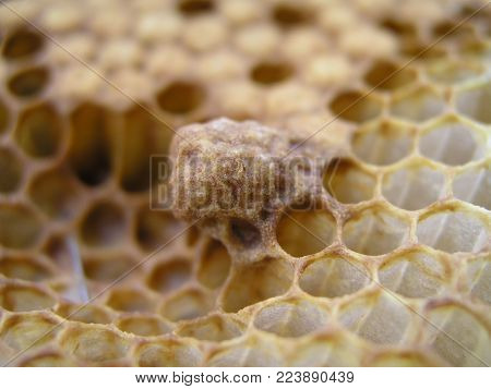 Honey Bee brood with Queen cells. Waxen cottage for growing of chapter of bee family. The young queen bee.