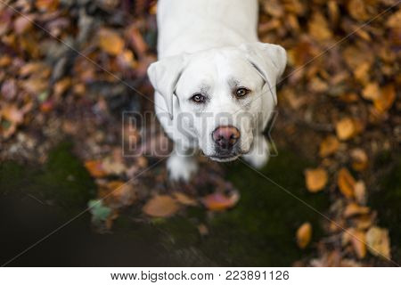 Portrait Of Young Cute Labrador Retriever Dog Puppy With Big Brown Eyes During Autumn With Colored L