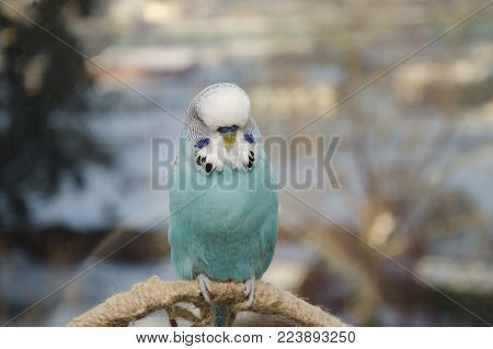 a domestic pet, a blue wavy parrot, sits on a chord, against the backdrop of the city , parrot wavy, blue bird, sits on the chord, on the background of the city, pet, macro photo