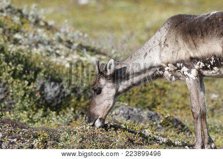 Young barren-ground caribou, rangifer tarandus groenlandicus, grazing along the tundra in August near Arviat, Nunavut