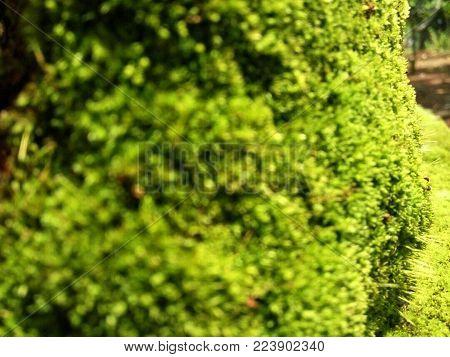 blurred green moss background. blur focus green moss background.