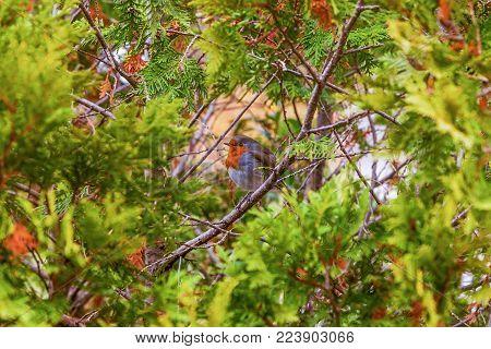 Bird European Robin in the Arboretum of Sochi. Russia