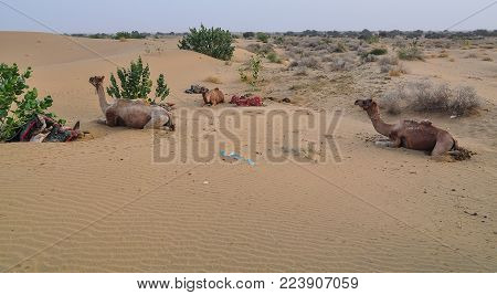 Camels Waiting On Thar Desert In Jaisalmer, Rajasthan State Of India.