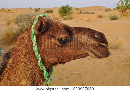 Portrait Of A Camel On Thar Desert In Jaisalmer, Rajasthan State Of India.