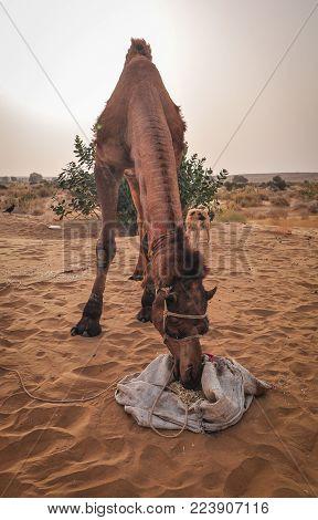 A Camel Eating On Thar Desert In Jaisalmer, Rajasthan State Of India.