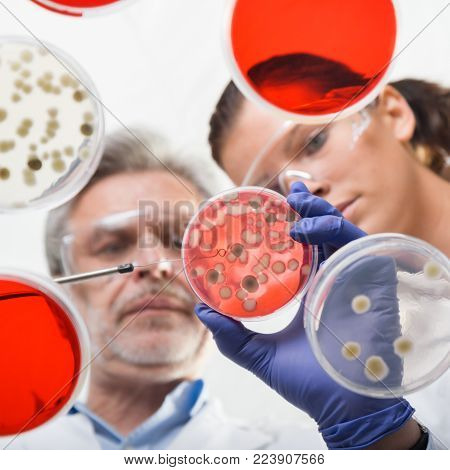 Scientists researching in laboratory, pipetting cell culture samples and serum on LB agar medium. Life science professional grafting bacteria in the petri dishes. Through the glass view.