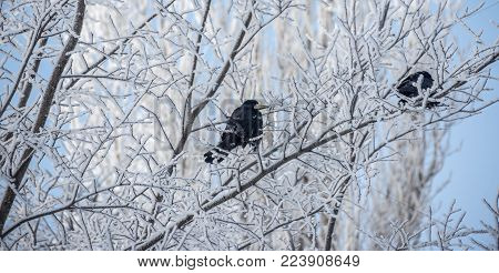 Black Raven on tree branch in winter in the cold, waiting for prey