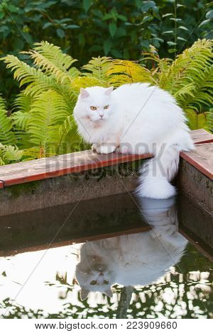 White Angora cat sits on the edge of the pool and wets tail