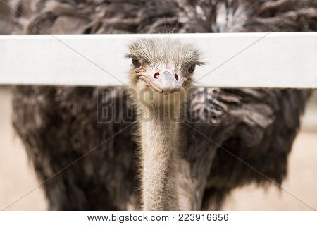 Close up of the ostrich gazing of you.