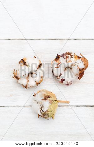Fluffy cotton ball of cotton plant on a white wooden background. Vertical