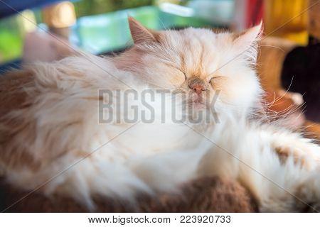 Cute Persian Cat sleeping in soft mattress basket pet.