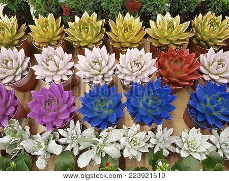 beautiful colored succulent above, floral, cultivate, purple, beauty