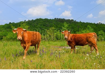 Brown French Limousin cows in fields full of wild Thyme poster