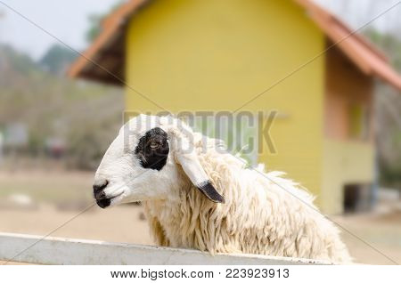 Portrait of sheep in the sheep house