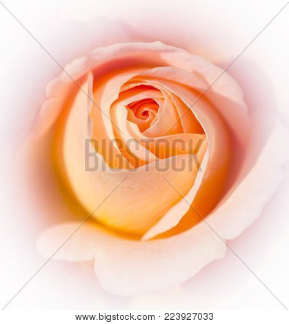 Pretty pastel colored rose  - closeup - white background