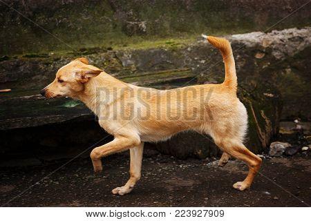 Homeless Dog Runs Along The Street. Lonely Dog