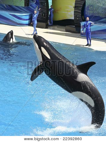 A Killer Whale Performs In An Oceanarium Show
