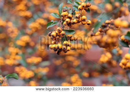 a bunch of yellow mountain ash. Pyracantha. bunch of ripe rowan berries on twig.