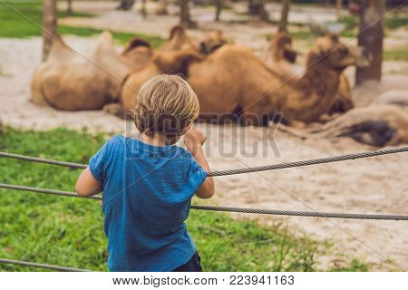 The Boy Looks At The Camels At The Zoo
