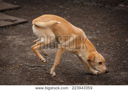 A Stray Dog Walking Along The Street In The Village. Homeless Dog Outdor. Hungry Dog
