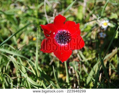 a red flower with six petals on a small stalk and with black posts and stamens among green grass