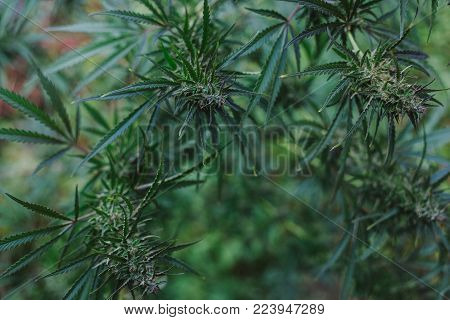 Beautiful pictures of cannabis. medicinal marihuana . drugs.