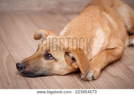 Portrait of a dog. Dog without breed. The doggy is lying with sad eyes.